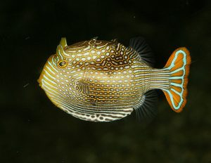 Pattern formation in fish is governed by processes which can be described using bifurcation theory