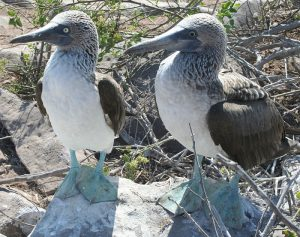 The blue footed booby
